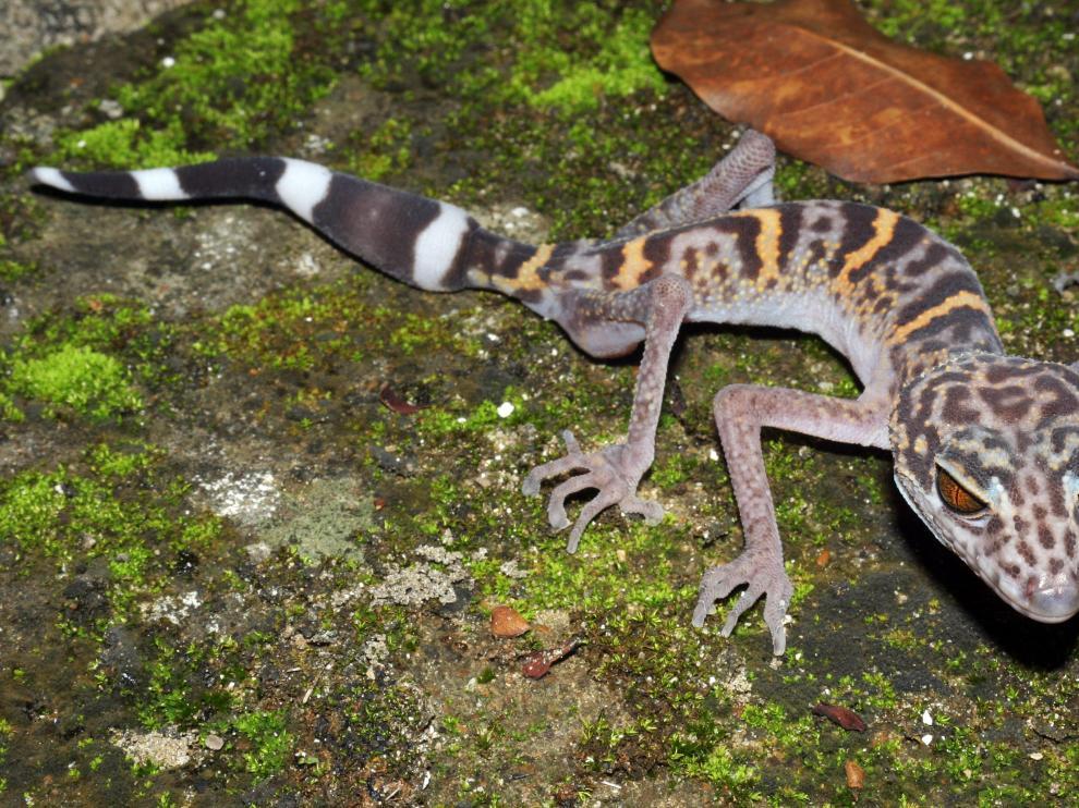 Un lagarto con piel de leopardo y ojos de gato, una de las nuevas especies descubiertas