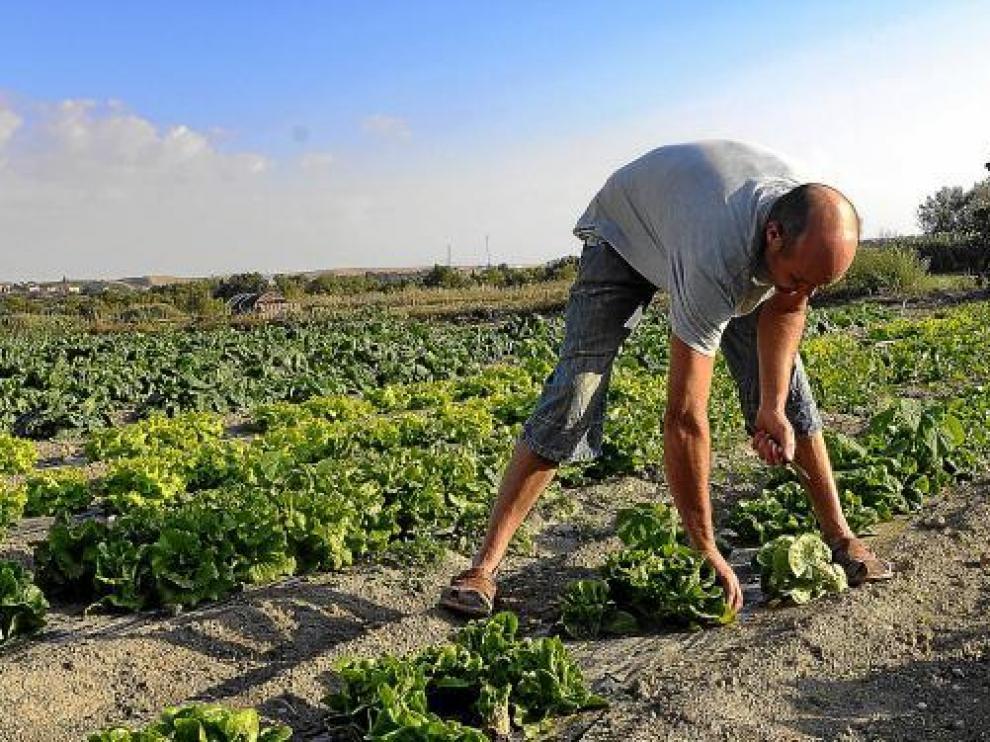 Félix Bolea, en su finca, recogiendo unas lechugas para preparar las cestas de sus clientes.