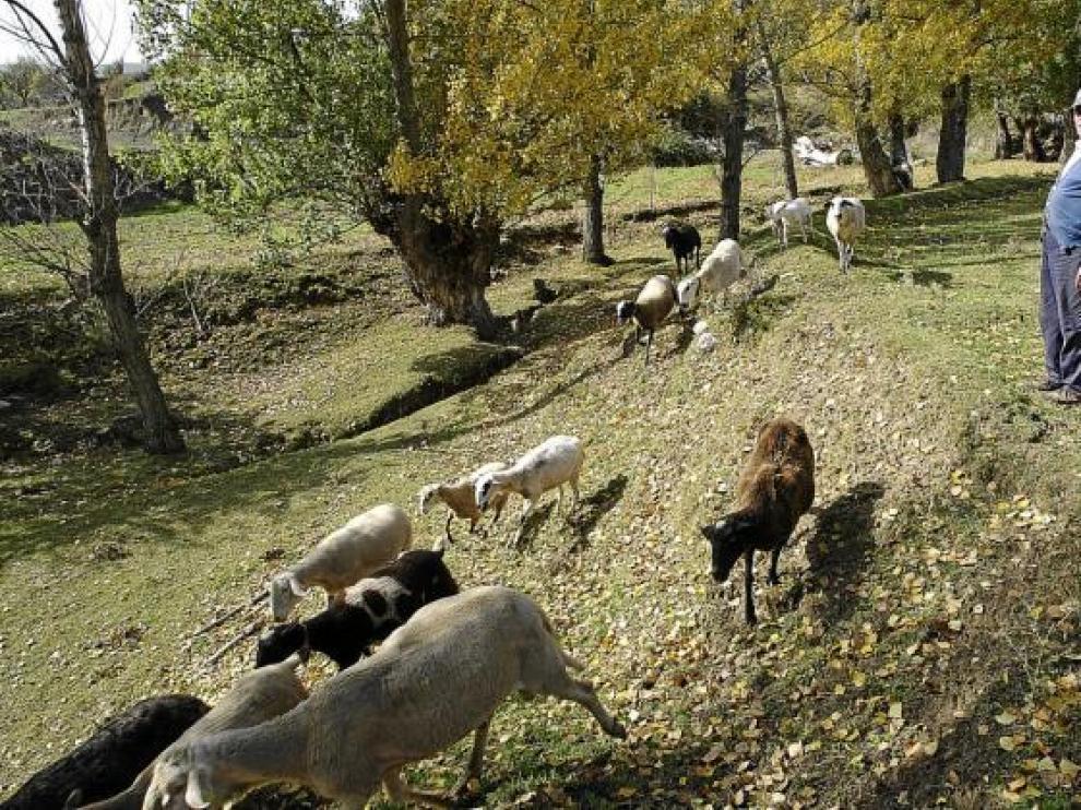Los ganaderos del Maestrazgo, hartos de los ataques de los buitres