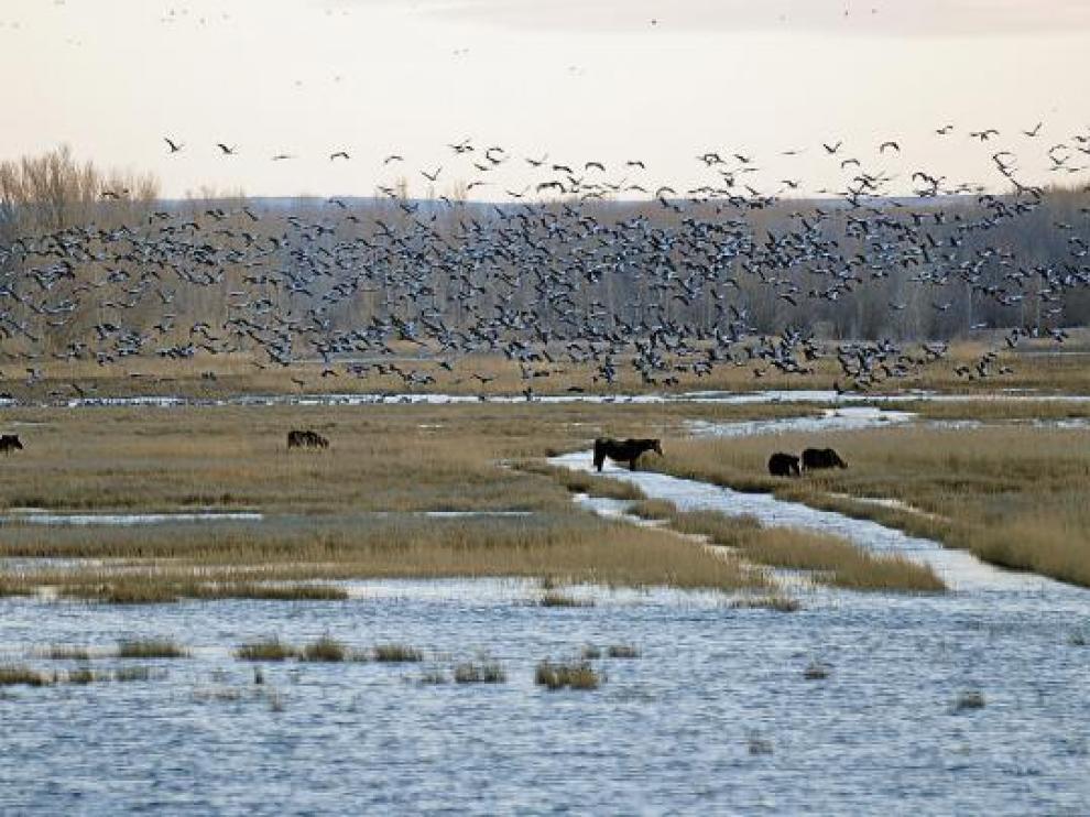 Miles de grullas acuden a la laguna del Cañizar, donde caballos pastan plácidamente.
