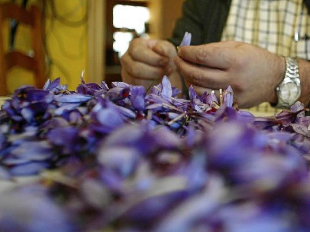 El proceso de desbriznado del azafrán, en la foto, es uno de los más laboriosos.