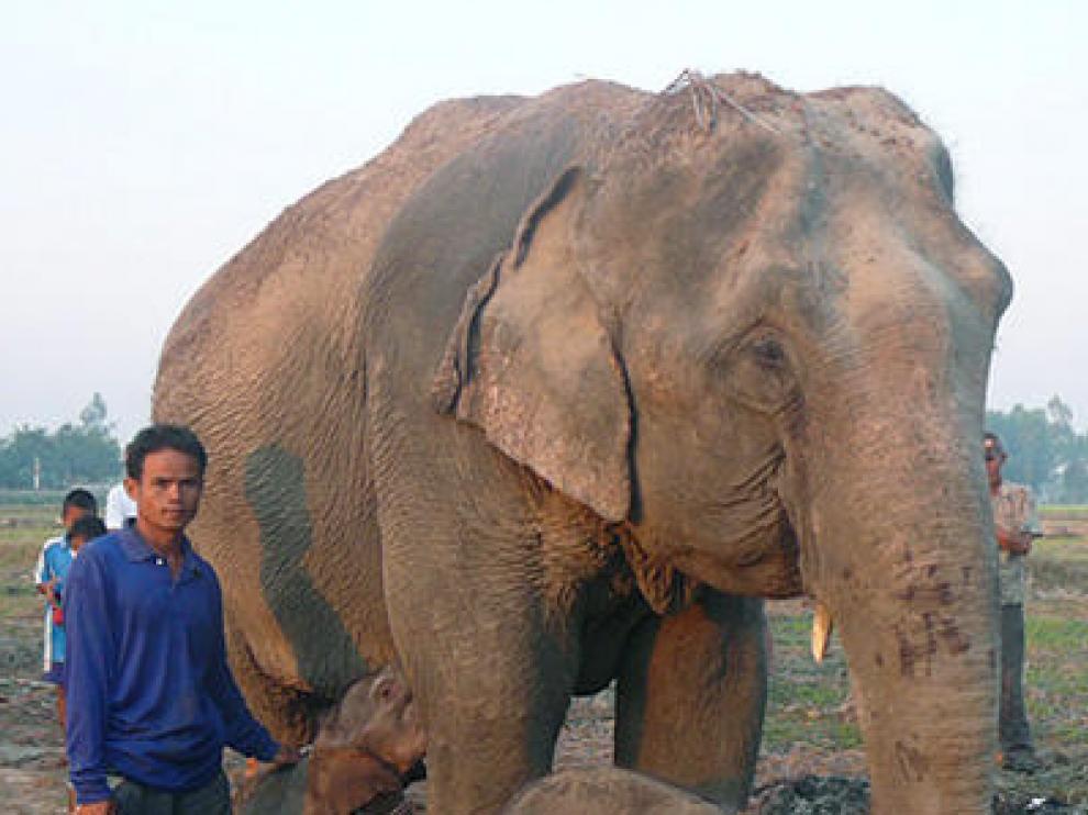 Una elefanta junto a sus gemelos recién nacidos, en Tailandia