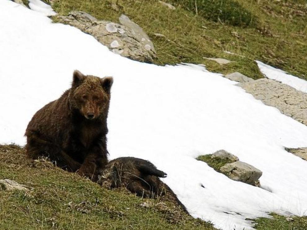 La foto de Camille, uno de los pocos osos autóctonos, fue tomada en noviembre en los montes de Ansó.