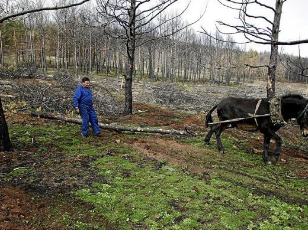 Las empresas madereras usan mulos para sacar los troncos aprovechables de las zonas quemadas.