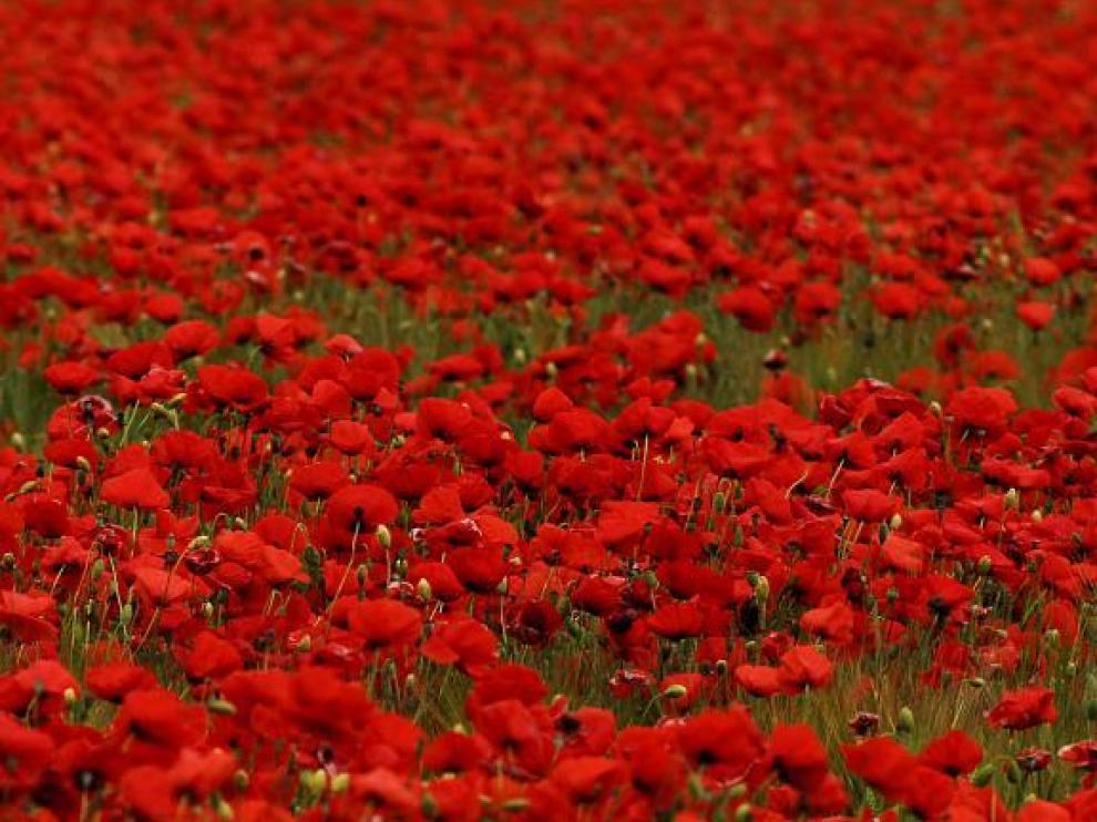 Campo de amapolas en flor masiva en un campo de cereal de Plasencia del Monte.