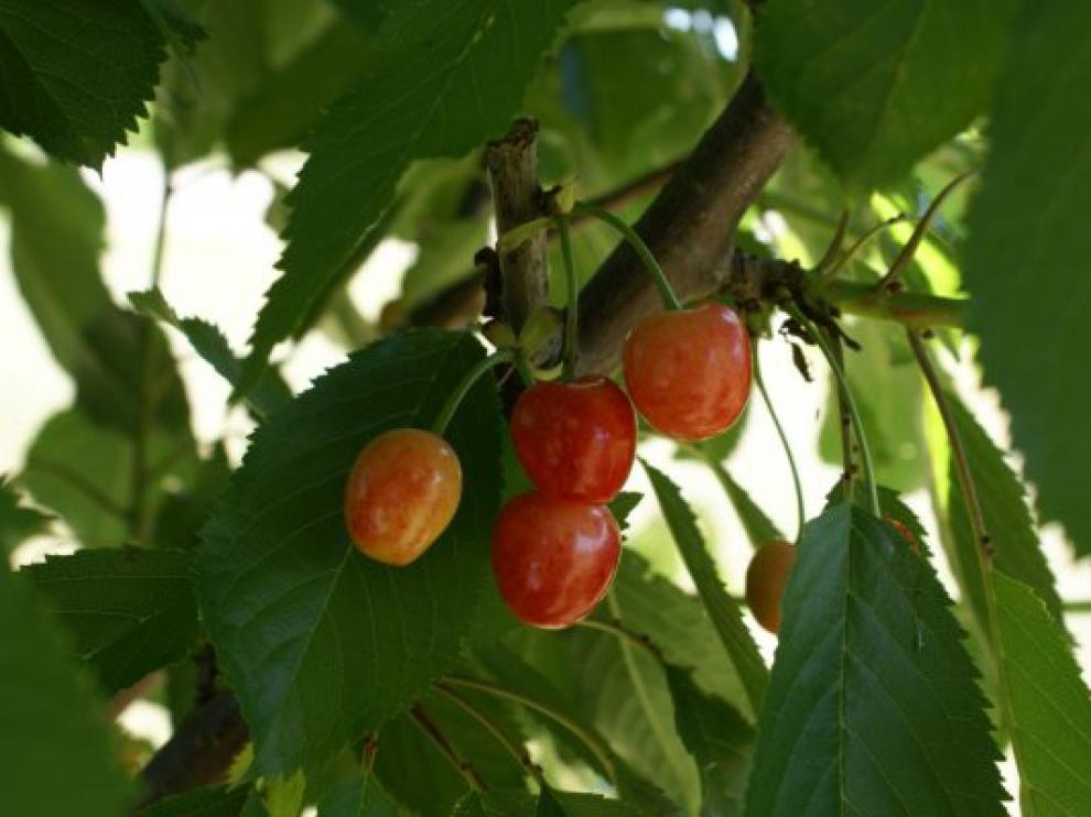 Frutos de un cerezo recuperado en Alquézar