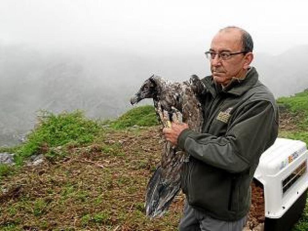 El pasado 15 de junio, los dos pollos fueron trasladados por carretera de Ordesa a los Picos de Europa.