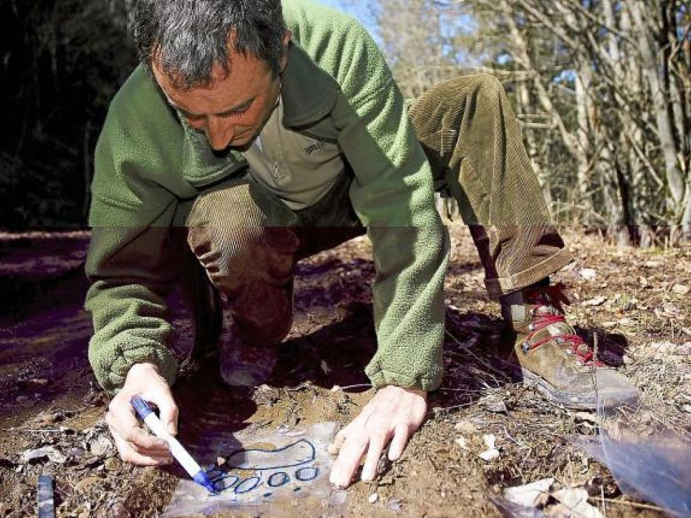 Jesús Laín, vigilante del oso, recoge en el suelo de un bosque de Ansó la pisada del oso pardo.