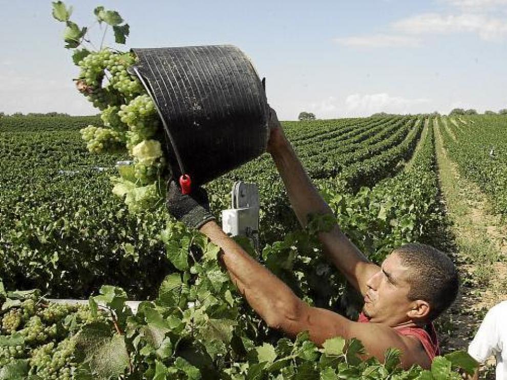 Tareas de la vendimia del año pasado en uno de los viñedos de la D.O. Somontano