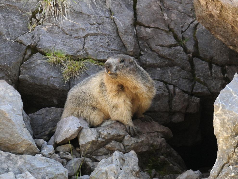 Marmota en el collado de Sahún