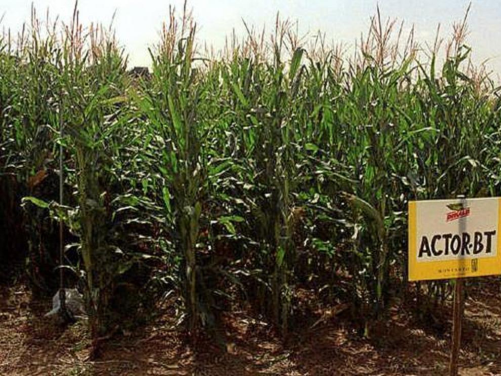 Cultivo de maíz transgénico Bt en Aragón.