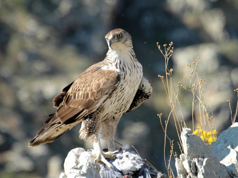 Ejemplar de águila azor perdicera
