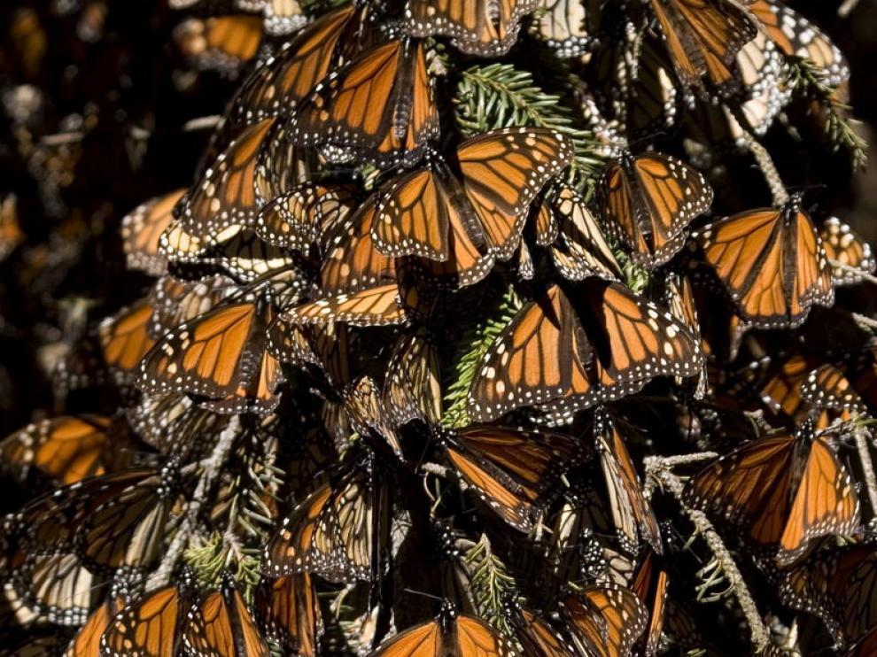 Posadas sobre una rama, las monarcas parecen formar un tapiz