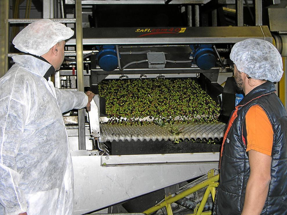 Entrada de las olivas a la cinta en las que se les quita la hojarasca para ser lavadas después.