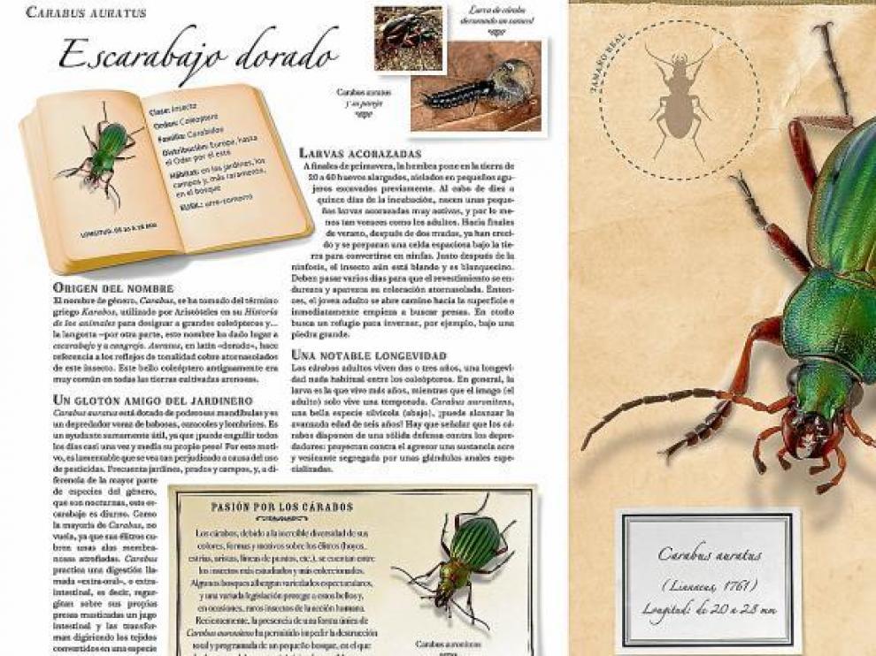 Extracto del libro 'Pequeña colección de insectos', que muestra con detalle el escarabajo dorado, de Sonia Dourlot y editado por Larousse .