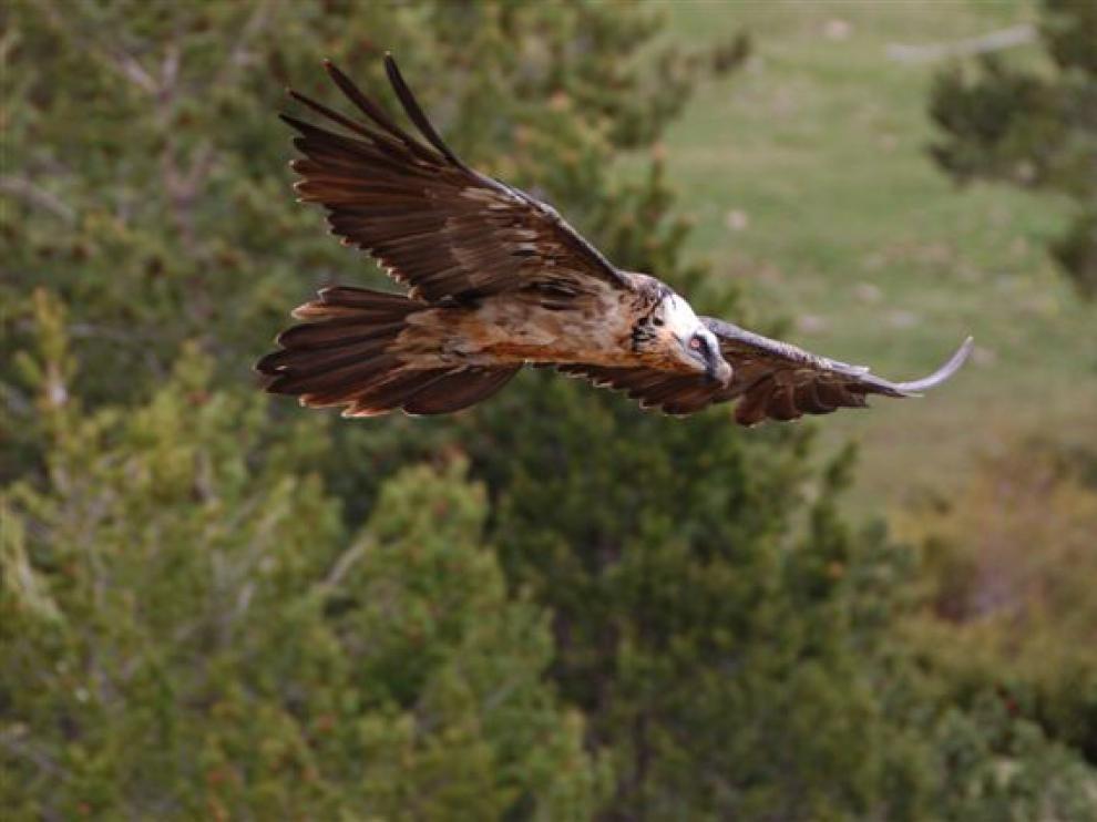 Quebrantahuesos subadulto vuela por el valle de Escuaín