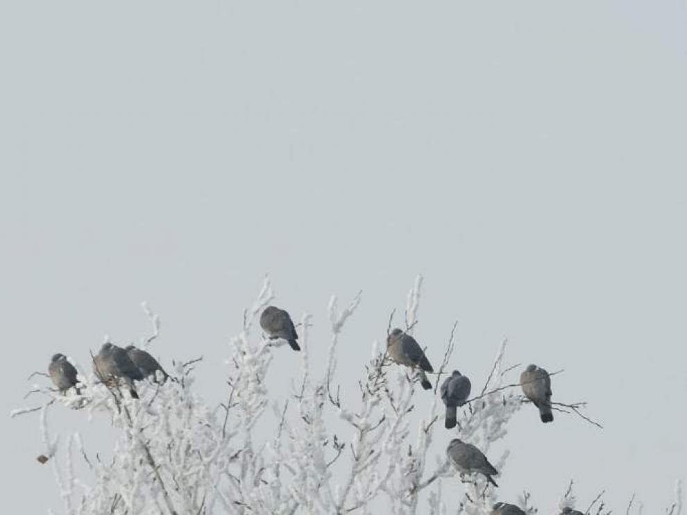 Dormidero de palomas torcaces