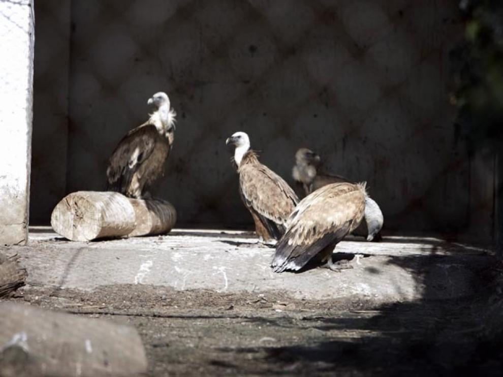 Buitres en el centro de recuperación de fauna