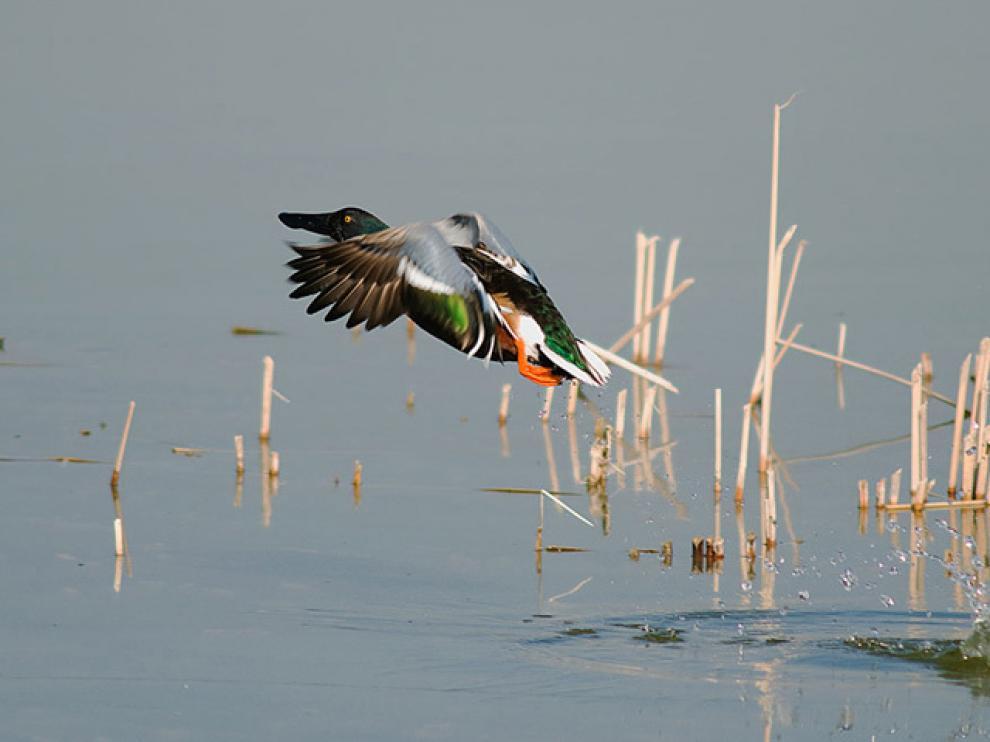 Un cuchara común emprende el vuelo en la laguna de Sariñena