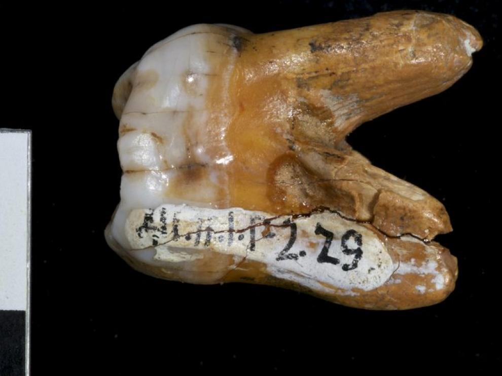 Imagen de la muela encontrada que perteneció al 'denisovano'.