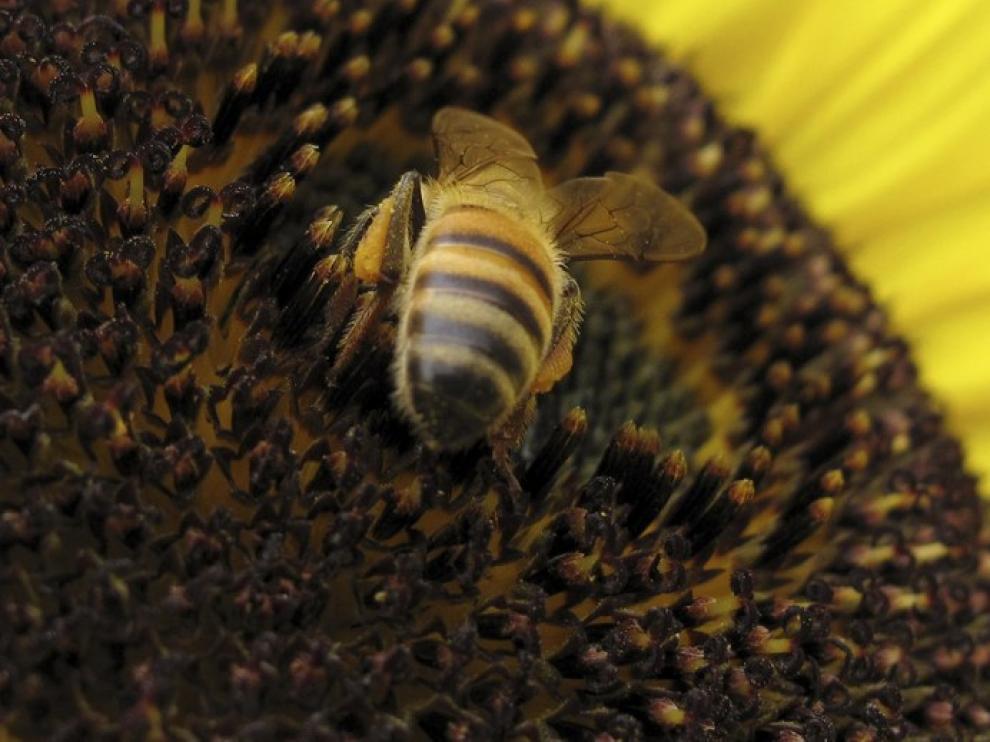 Un abeja sobre una flor de girasol.