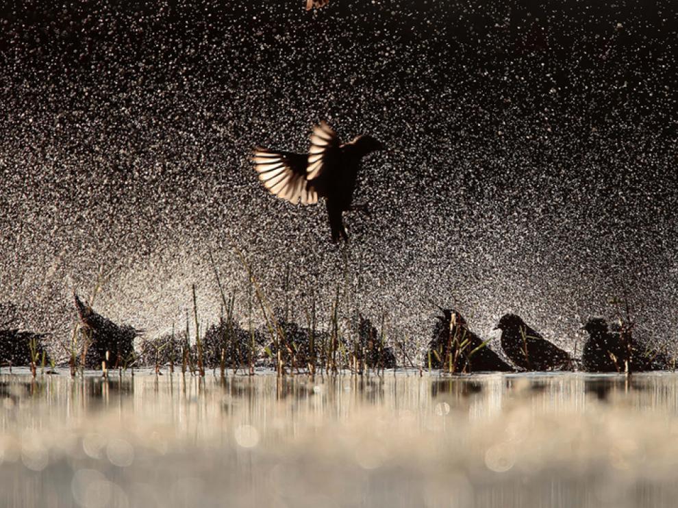 Estorninos negros. Premio 'Aves de España'