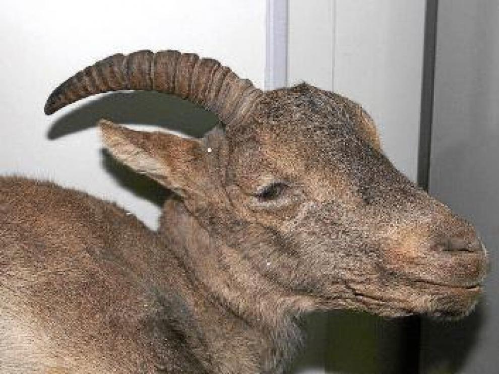 La última bucarda murió en Ordesa en enero de 2000.