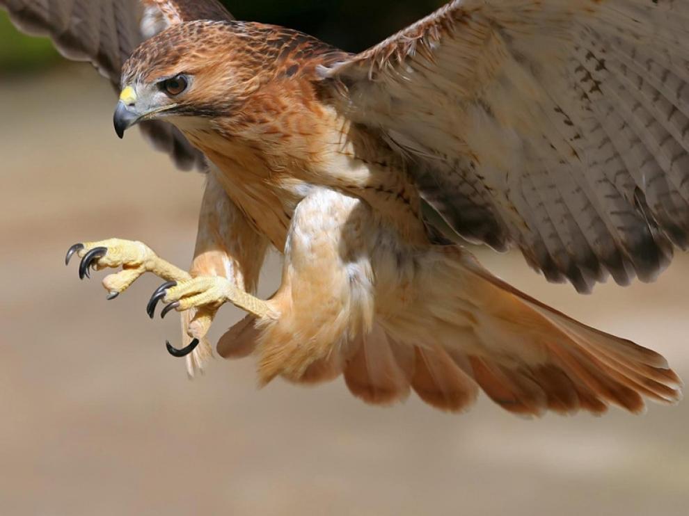 Un ejemplar de halcón, que controla las palomas en la plaza del Pilar.