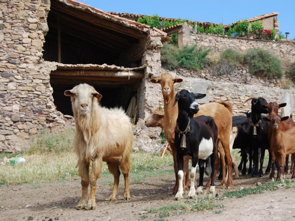 Rebaño de cabras en Sierra de Arcos.