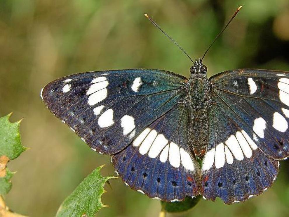 La ninfa de los arroyos (Limenitis reducta) se alimenta de madreselvas cuando es oruga, y vive en biotopos frescos del Cinca Medio.