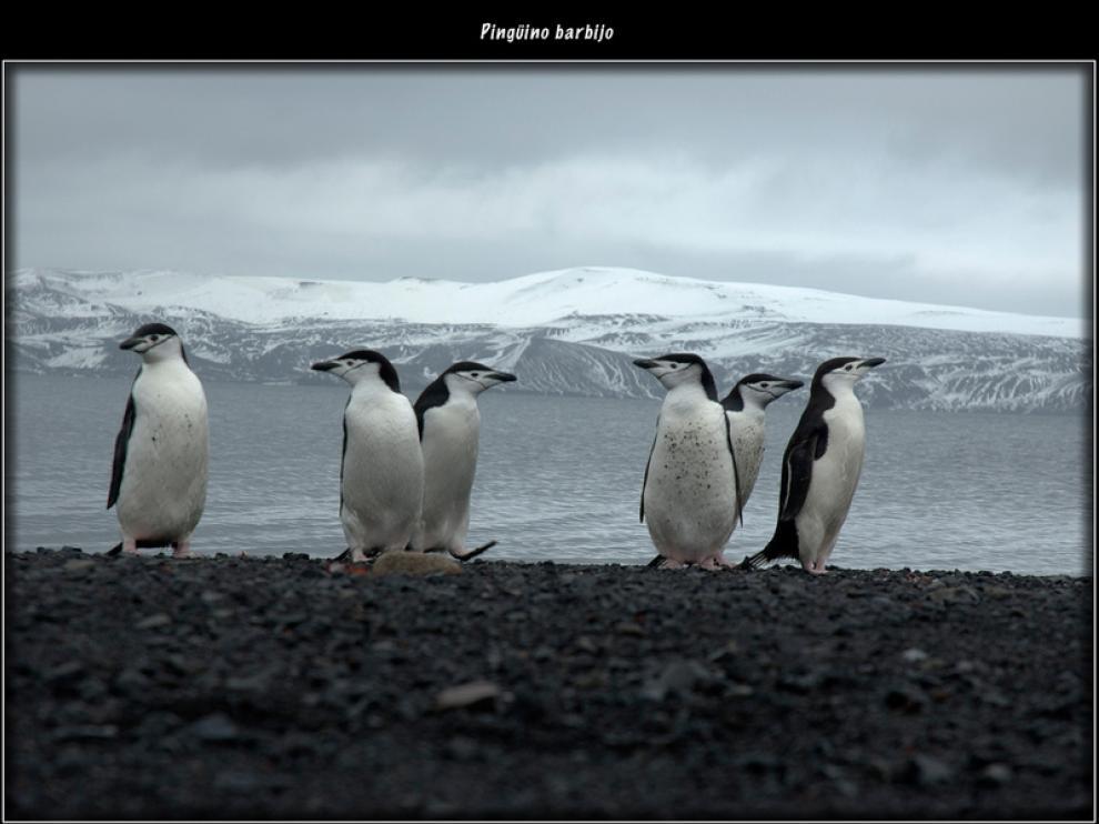 Los pingüinos son curiosos por naturaleza y se acercan a curiosear por la base
