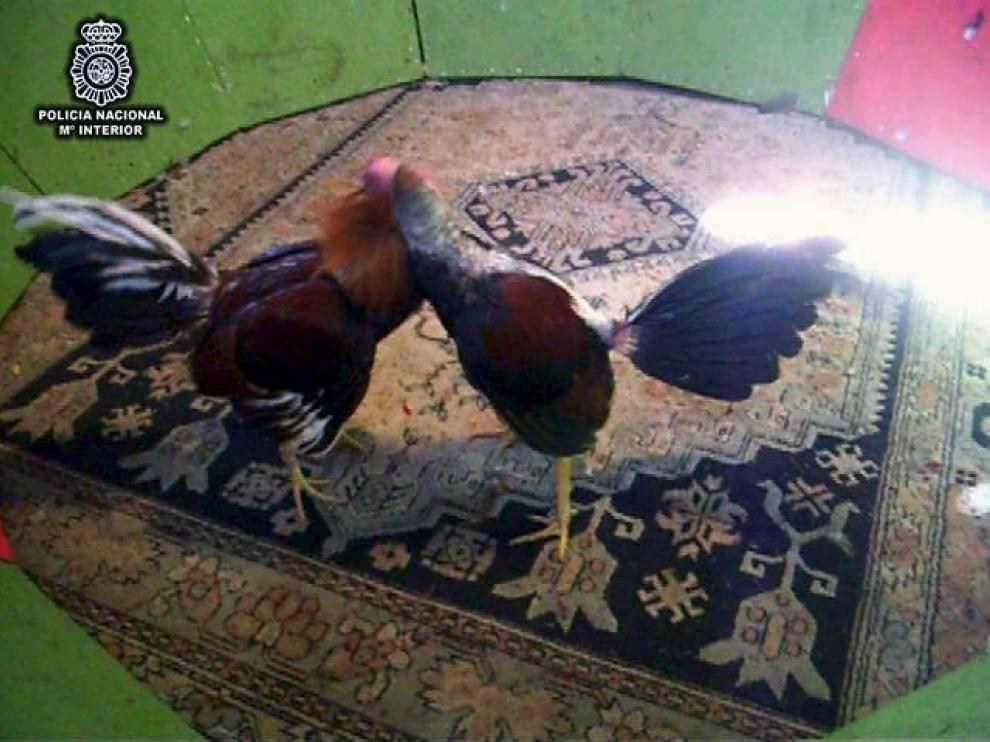 Foto cedida por el Ministerio de Interior, en la que se ven algunos  gallos utilizados para pelear