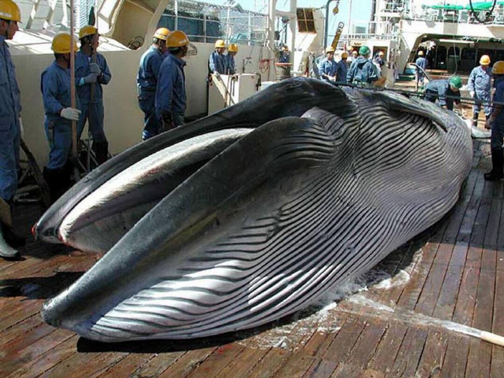 Una ballena capturada por un ballenero japonés.
