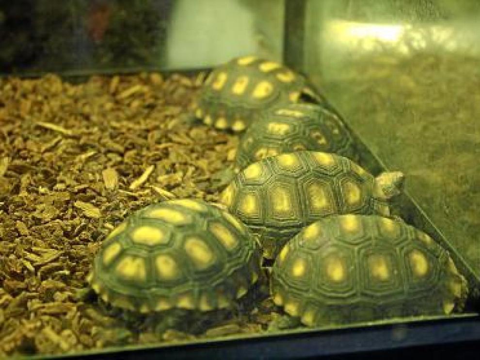 Varias tortugas de la India en un puesto de Chatuchak.