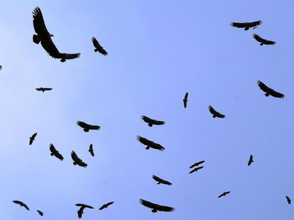 Numerosos buitres leonados dibujan círculos en el cielo, justo encima de una carroña en la sierra de Guara.