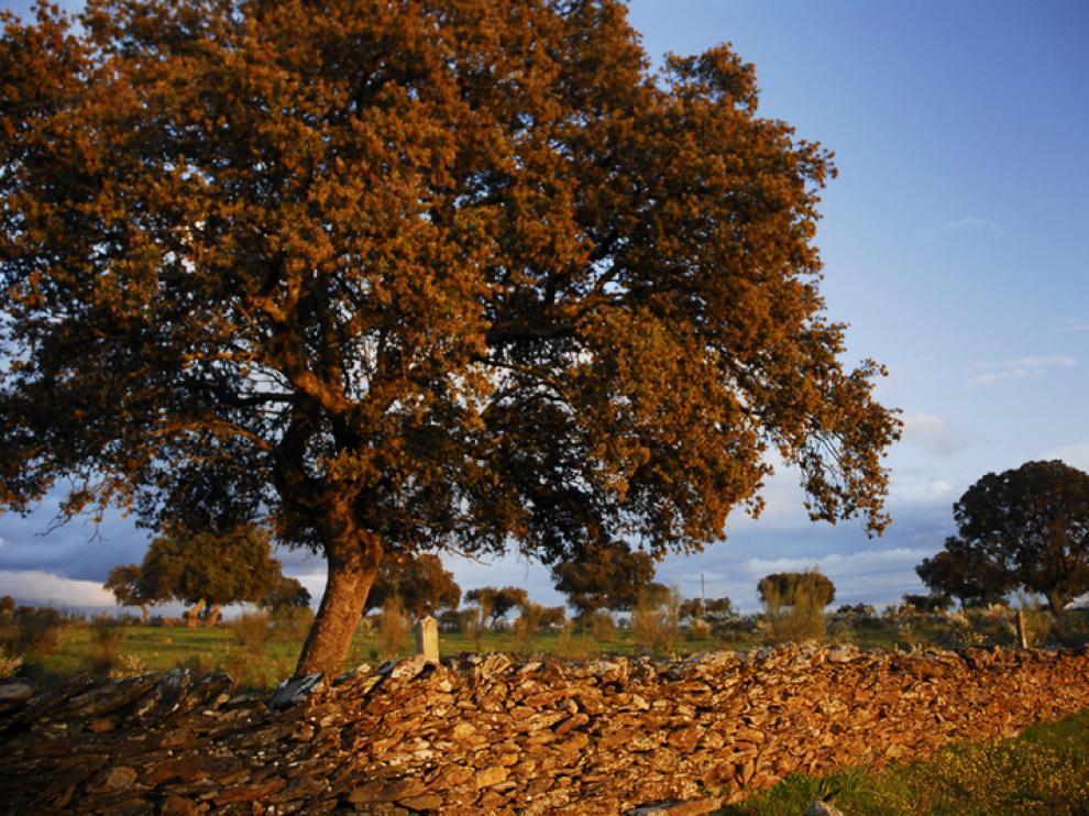 Encina de notable porte, una de las especies emblemáticas de Aragón