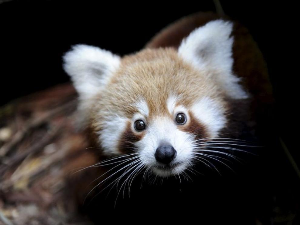 Bebé de panda rojo, en un zoo de Sídney