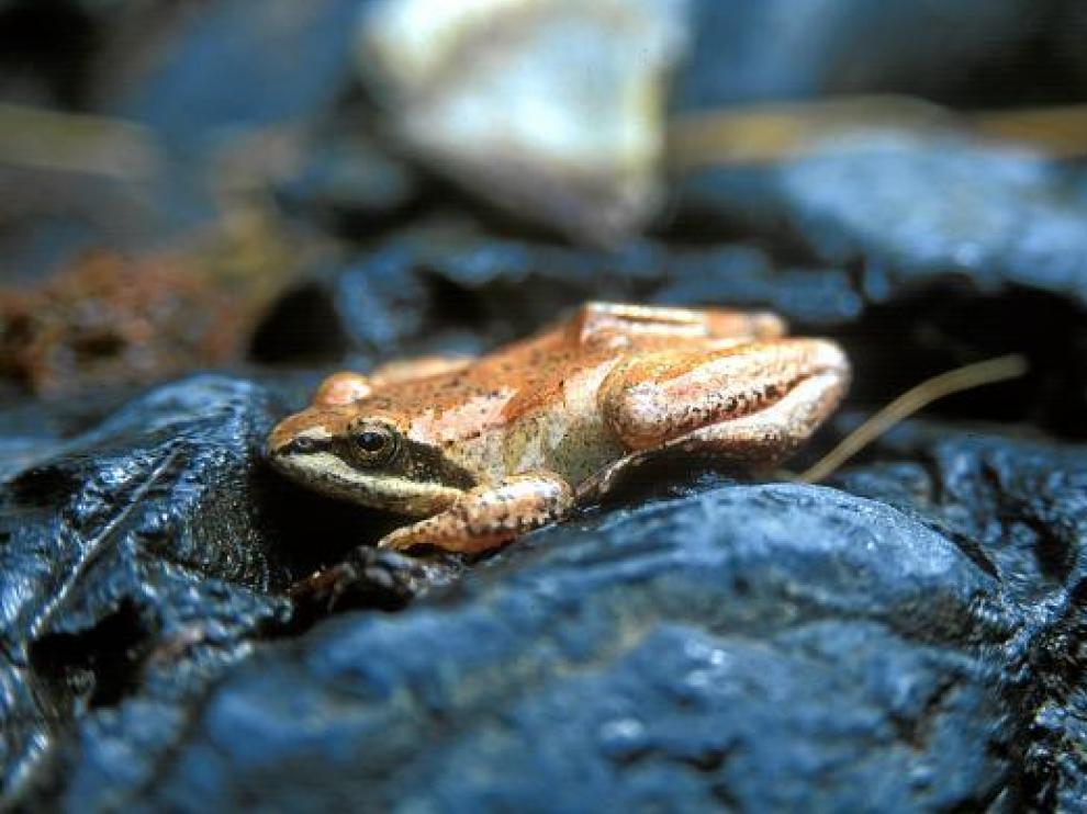 La rana pirenaica tiene rasgos morfológicos y ecológicos que la diferencian de la rana bermeja.