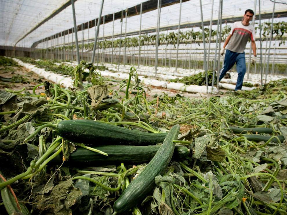 Arrancan plantaciones de pepinos en Almería.