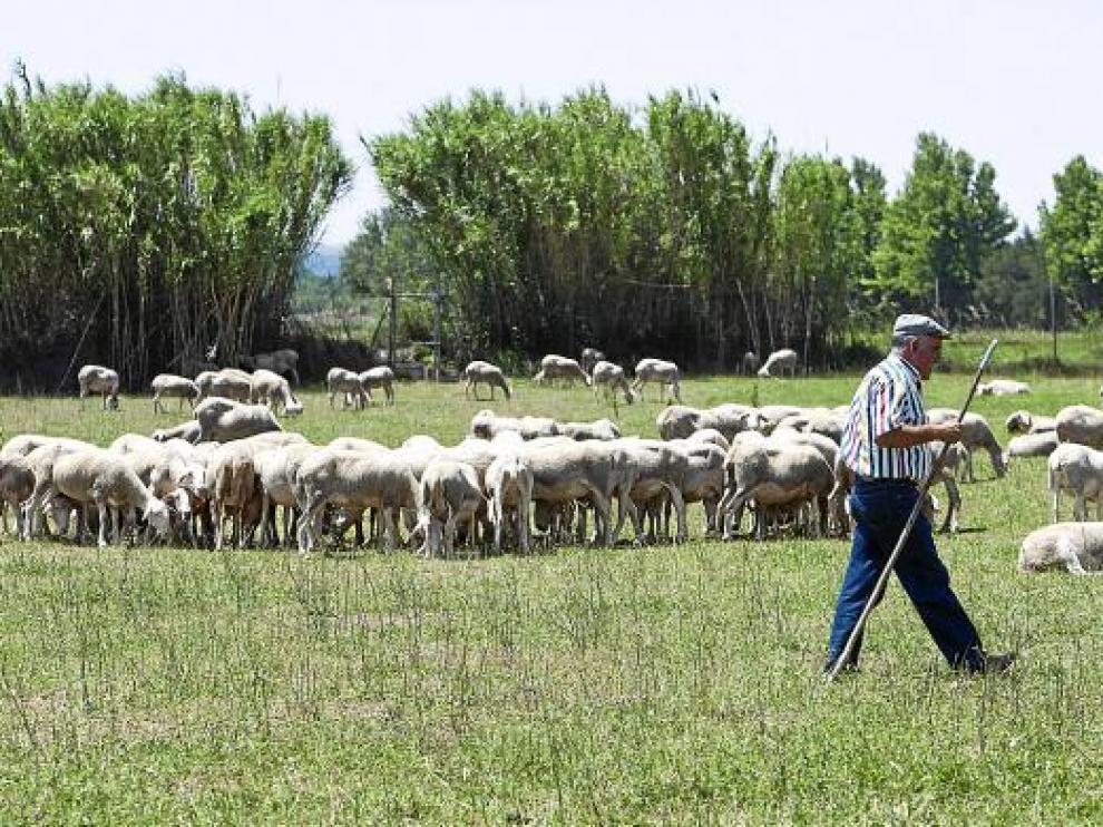 Ángel Gay pastorea el rebaño de 750 ovejas que tiene junto al Ebro en la zona de Movera.