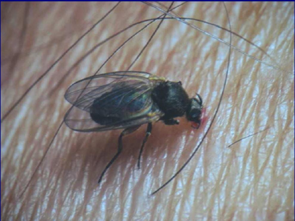 Un ejemplar de la molesta mosca negra