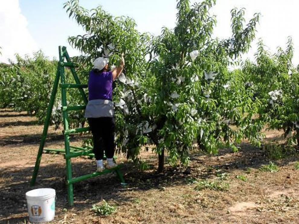 Un trabajador del campo recogiendo fruta.