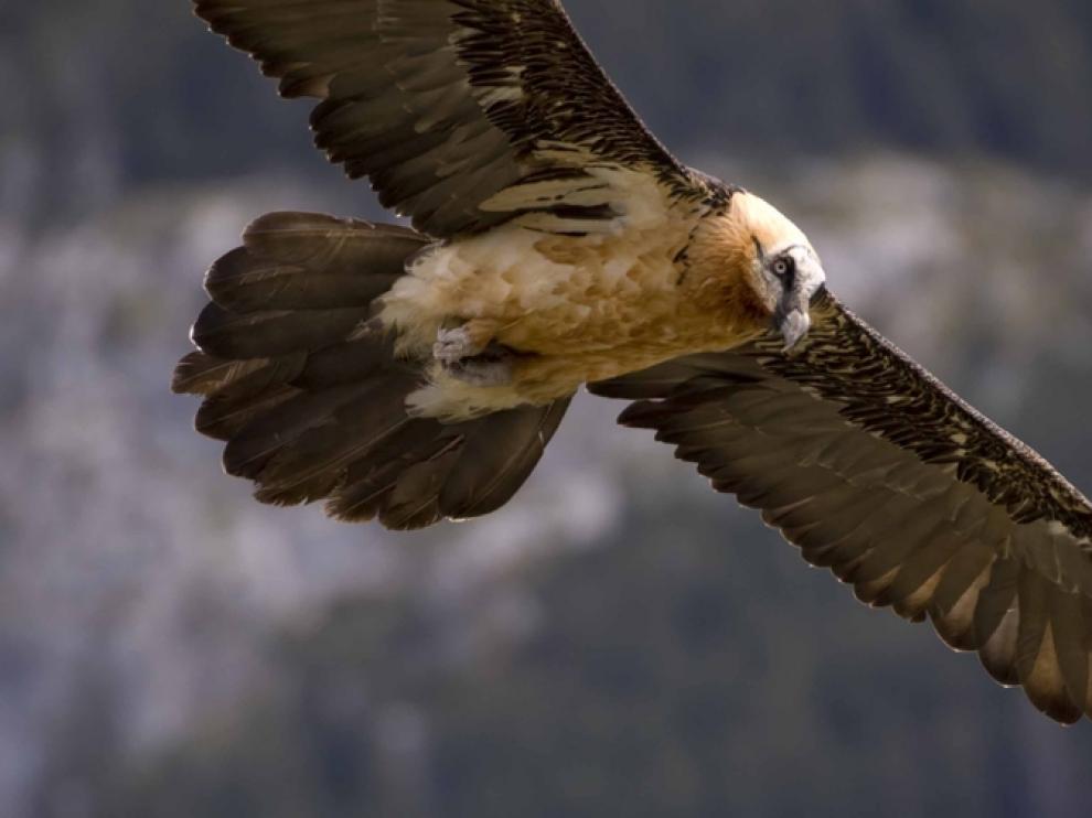 El quebrantahuesos es una especie protegida en peligro de extinción.