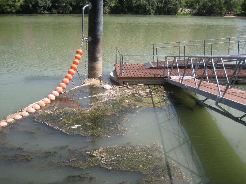 Algas en el embarcadero del Náutico, en Zaragoza