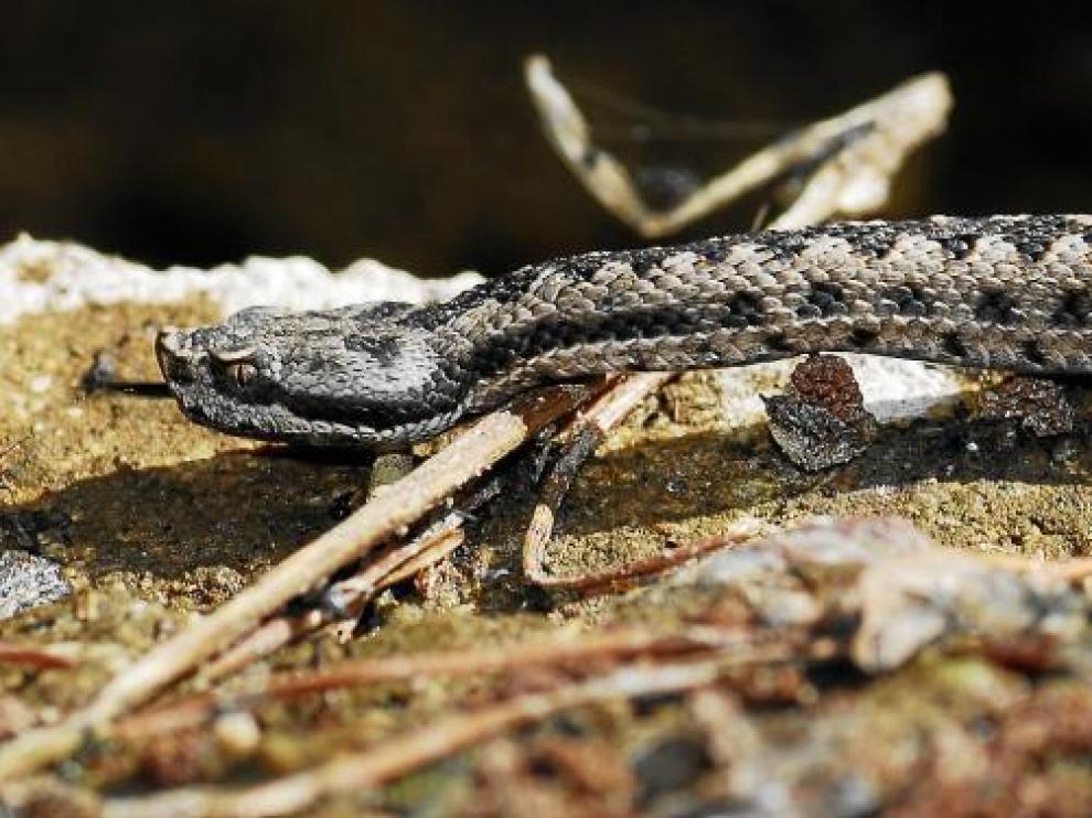 La víbora hocicuda falta en el Alto Pirineo, pero se halla en sierras prepirenaicas como Guara o Riglos.