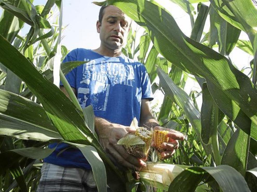 Una plantación de maíz de Peralta de Alcofea retrasada por el calor.