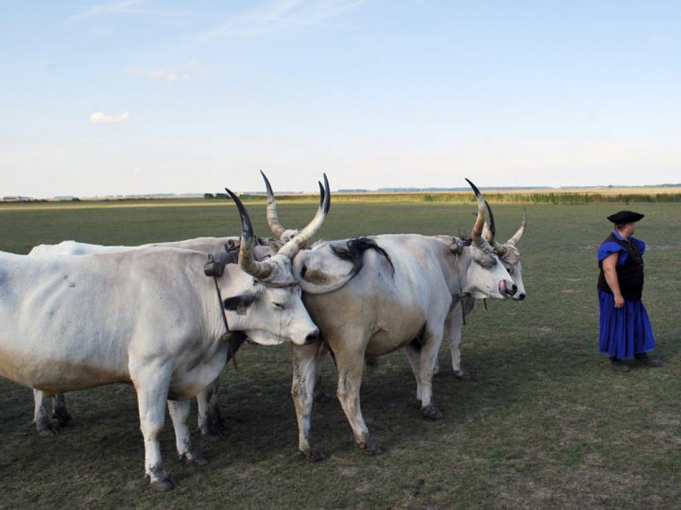 Un campesino con los bovinos autóctonos de Hungría, en la localidad húngara de Hortobágy