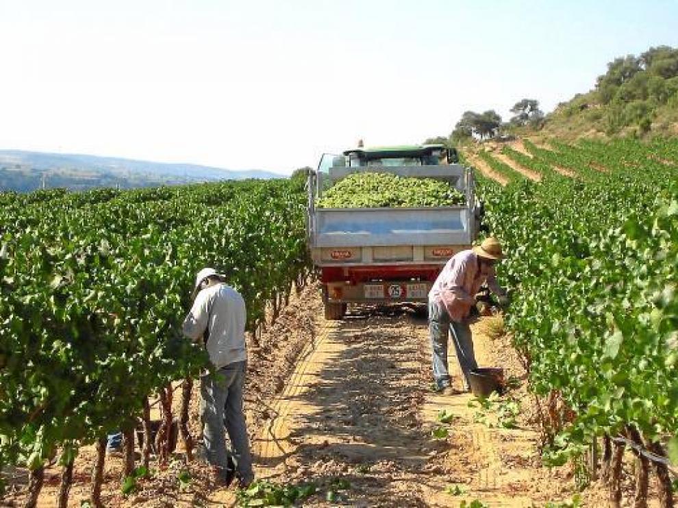 Las bodegas de Enate recogen a mano parte de su producción, según las variedades.
