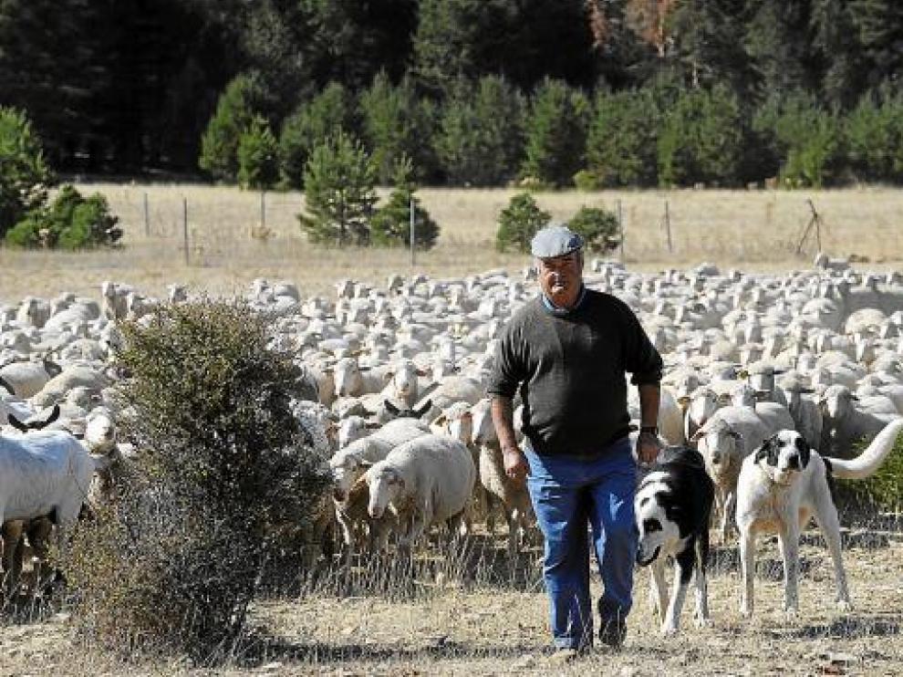 Urbano Soriano, con el rebaño de ovejas con el que hará el viaje a pie hasta los pastos de Jaén.