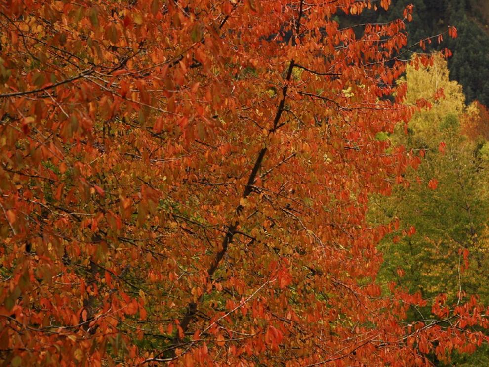 El paisaje otoñal de los bosques altoaragoneses cuenta durante estas fechas con el particular color de este árbol asilvestrado.